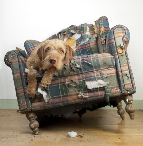 cachorro destruidor